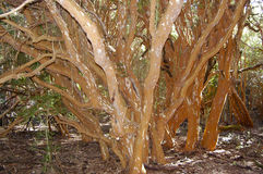 Árboles de Arrayan - Neuquen - la Argentina Foto de archivo