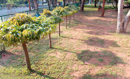 Árboles de Asoka con la sombra en el parque Foto de archivo libre de regalías