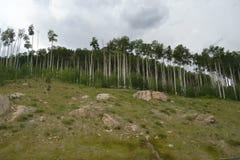 Árboles de Aspen Foto de archivo