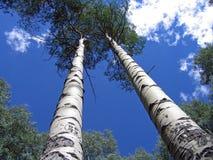 Árboles de Aspen Foto de archivo libre de regalías