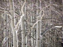 Árboles de Aspen del invierno Imagen de archivo libre de regalías
