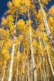 Árboles de Aspen en caída Fotografía de archivo libre de regalías