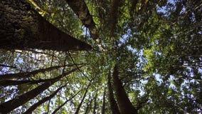 Árboles de Aspen en el bosque, 4K metrajes