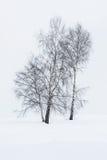 Árboles de Aspen en invierno Fotografía de archivo libre de regalías