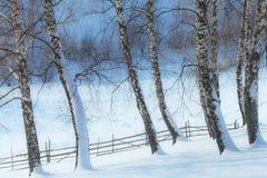 Árboles de Aspen en invierno y cerca vieja Foto de archivo libre de regalías