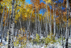 Árboles de Aspen en nieve Fotos de archivo libres de regalías