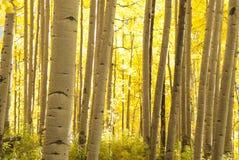 Árboles de Aspen en otoño imagen de archivo