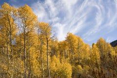 Árboles de Aspen en otoño Fotos de archivo libres de regalías