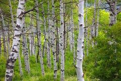 Árboles de Aspen en tiempo temprano del otoño fotos de archivo