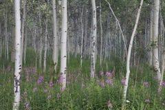Árboles de Aspen entre las flores púrpuras imágenes de archivo libres de regalías