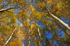 Árboles de Aspen que alcanzan para el cielo Foto de archivo libre de regalías
