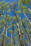 Árboles de Aspen que se elevan en un bosque en New México Foto de archivo libre de regalías