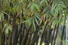 Árboles de bambú Imagenes de archivo