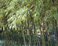 Árboles de bambú Fotos de archivo