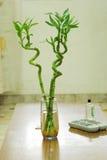 Árboles de bambú afortunados dentro del hogar Fotografía de archivo libre de regalías