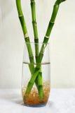 Árboles de bambú afortunados en un vidrio Imagenes de archivo