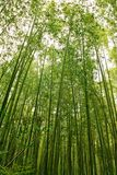 Árboles de bambú, bosque en Japón Fotografía de archivo libre de regalías