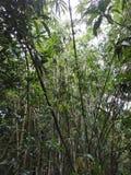 Árboles de bambú con el cielo fotos de archivo libres de regalías