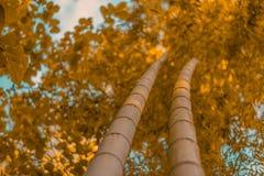 Árboles de bambú en otoño imagen de archivo libre de regalías