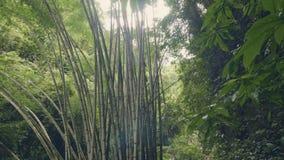 Árboles de bambú en selva tropical en las plantas tropicales verdes del fondo Matorrales de bambú salvajes en bosque tropical del almacen de video