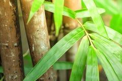 Árboles de bambú entre el verdor agradable de la selva con una cierta luz inspirada que fluye abajo sobre las hojas Esta clase de Fotografía de archivo