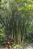 Árboles de bambú grandes en la isla de Maui, Hawaii foto de archivo