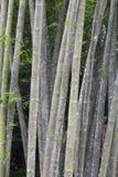 Árboles de bambú salvajes Fotografía de archivo libre de regalías