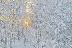 Árboles de Birche en escarcha, el llight apacible de la salida del sol o la puesta del sol Imagen de archivo libre de regalías