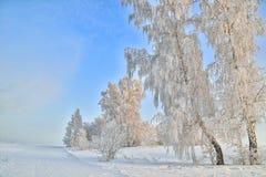 Árboles de Birche en la escarcha, luz apacible de la mañana, su de niebla escarchado Fotografía de archivo