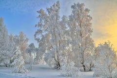 Árboles de Birche en la escarcha, luz apacible de la mañana, su de niebla escarchado Imagen de archivo libre de regalías