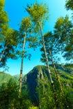 Árboles de Birich contra el cielo azul Paisaje del verano Fotos de archivo