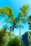 Árboles de Birich contra el cielo azul Paisaje del verano Imagenes de archivo