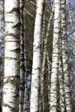 Árboles de Brich Fotografía de archivo