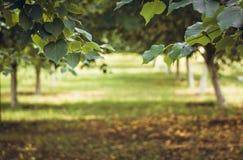 Árboles de cal en el sol Postal del verano Foto de archivo