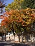Árboles de caqui (caqui del Diospyros) en tiempo de caída Fotografía de archivo libre de regalías