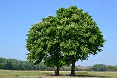 Árboles de castaña en la primavera. Fotografía de archivo