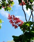 Árboles de castaña florecientes rosados Fotos de archivo libres de regalías