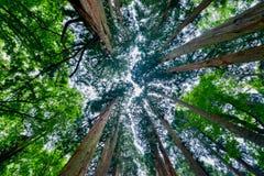 Árboles de cedro Imágenes de archivo libres de regalías