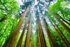Árboles de cedro Foto de archivo