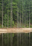 Árboles de cedro de la orilla del lago imagen de archivo libre de regalías