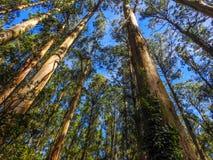 Árboles de ceniza altos de montaña Foto de archivo libre de regalías