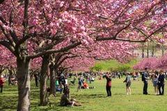Árboles de Cherry Blossom alineados en Brooklyn g botánico Imagen de archivo