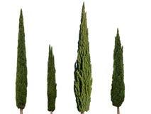 4 árboles de ciprés aislados en el fondo blanco fotografía de archivo