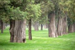 Árboles de ciprés viejos en parque Imagen de archivo libre de regalías