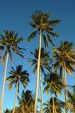Árboles de coco Imágenes de archivo libres de regalías