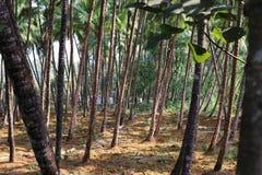 Árboles de coco Foto de archivo libre de regalías