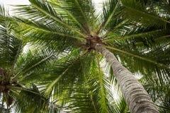 Árboles de coco Imagen de archivo