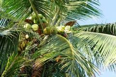 Árboles de coco imagen de archivo libre de regalías