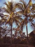 Árboles de coco Foto de archivo