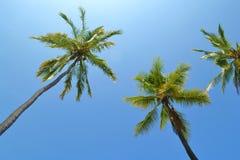 Árboles de coco altos Imagen de archivo